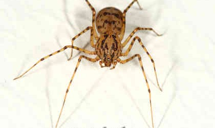 Scytodidae <br>(Spitting Spiders)