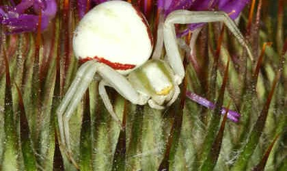 Thomisidae <br>(Crab Spiders)