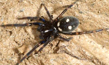 Titanoecidae <br>(Rock Weavers)