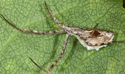 Uloboridae <br>(Cribellate Orb Weavers)