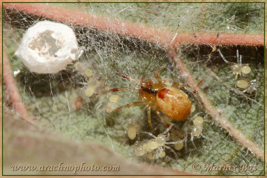 Female with spiderlings