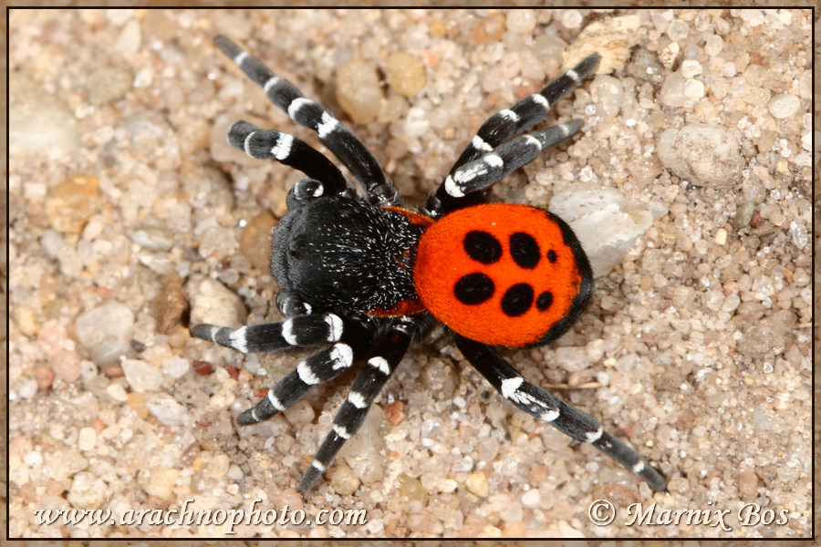 Eresus Sandaliatus Arachnophoto Spiders Of Europe