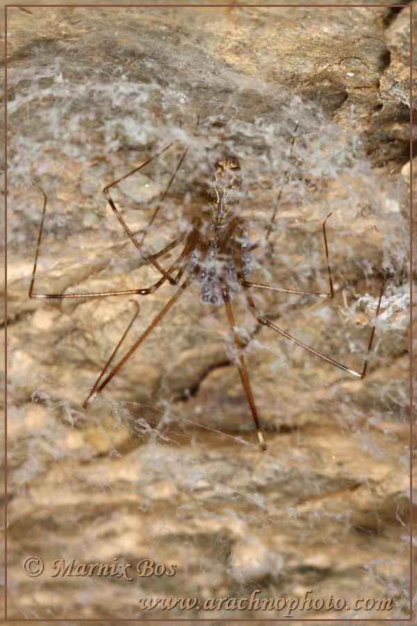 Female with egg sac in silken retreat