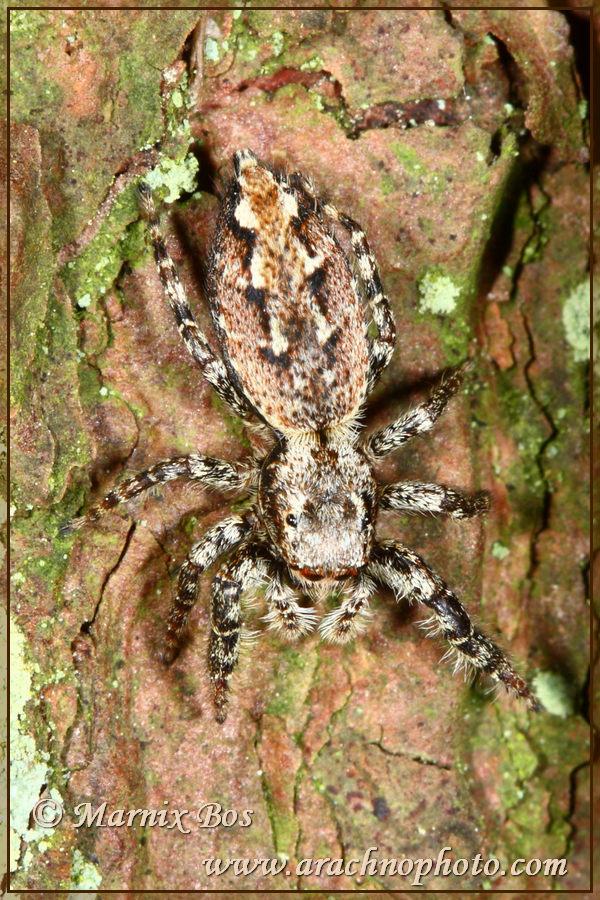 Marpissa Muscosa Arachnophoto Spiders Of Europe