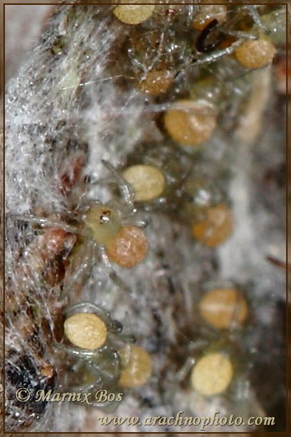 Jonge spinnetjes