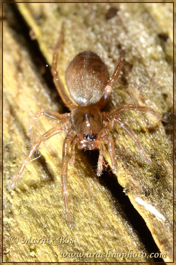 Subadult female