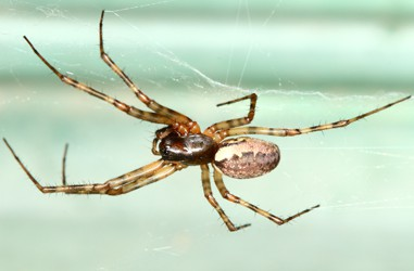 Linyphiidae <br>(Line Weaving Spiders)