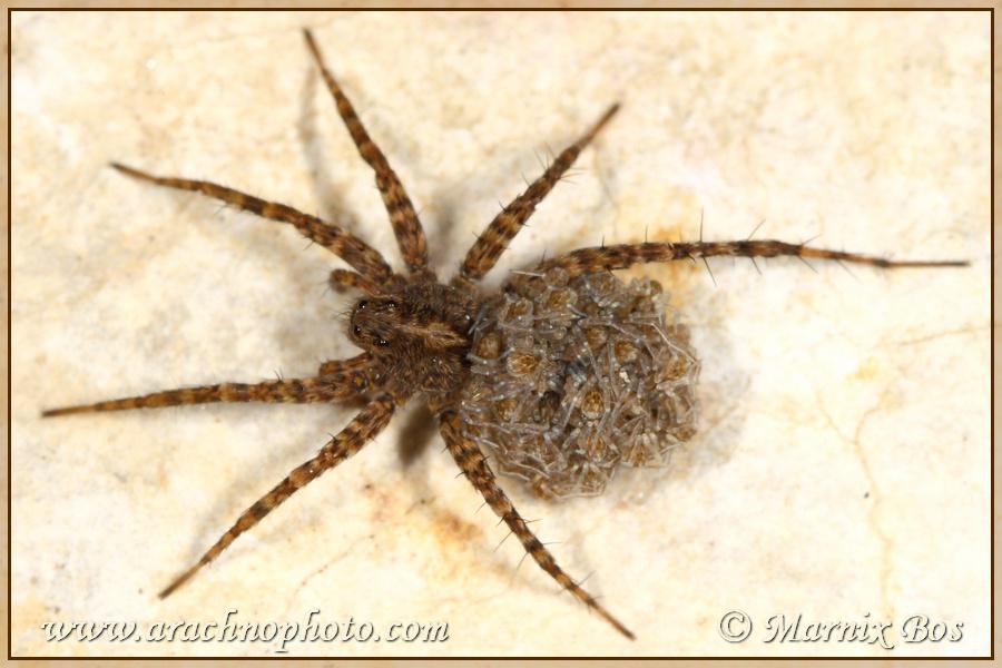 Vrouwtje met jonge spinnetjes