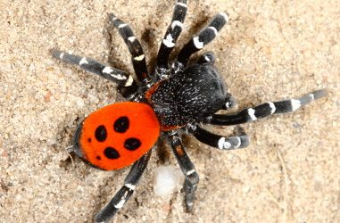 Eresidae <br>(Koepelspinnen)