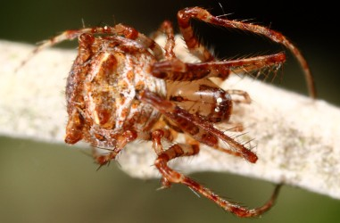 Mimetidae <br>(Pirate Spiders)