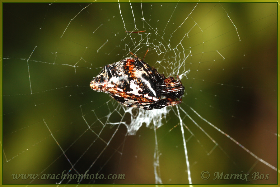 30c5b9f398b Cyclosa insulana | ArachnoPhoto - Spiders of Europe