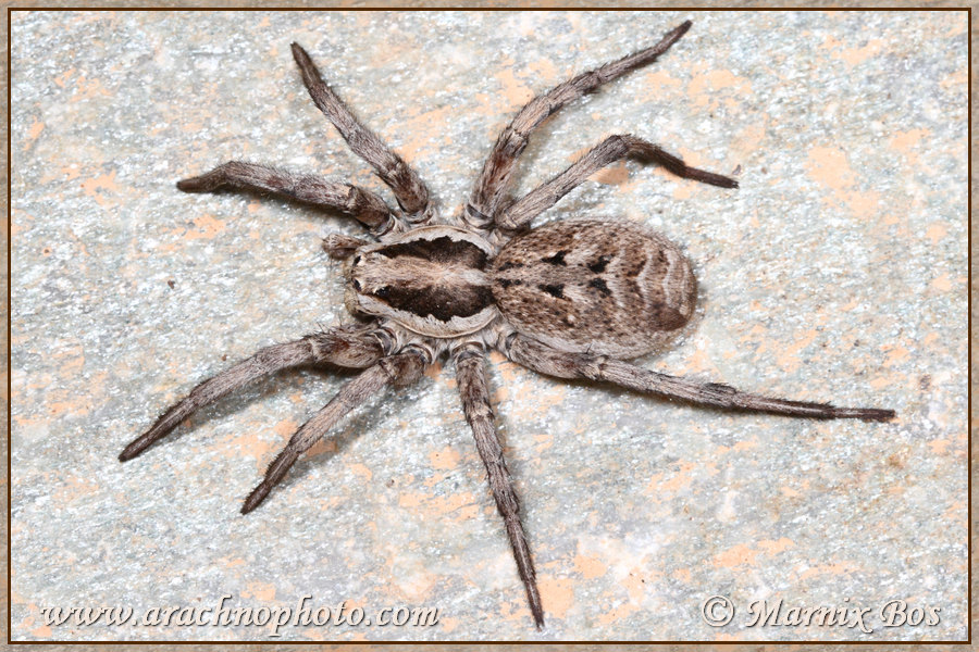 Lycosa Praegrandis Arachnophoto Spiders Of Europe