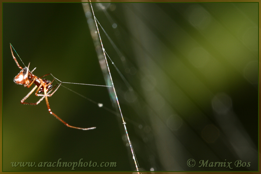 In web Argiope