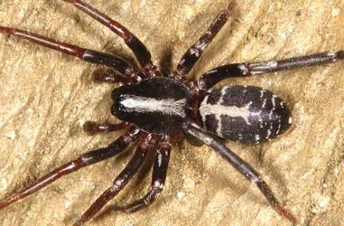 Corinnidae <br>(Pantserzakspinnen)