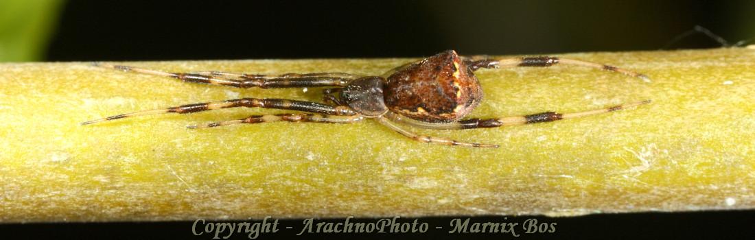Episinus angulatus slider