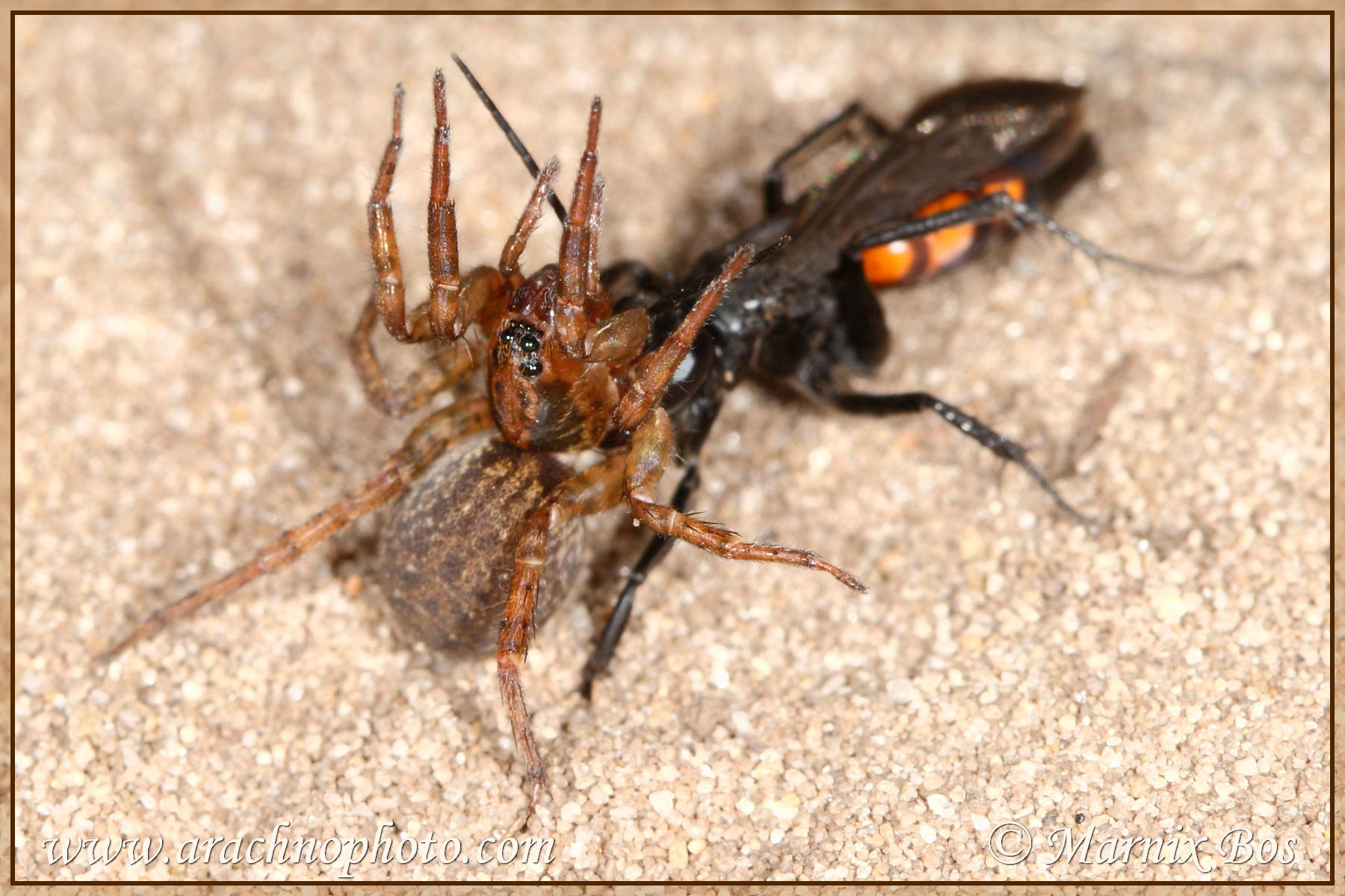 Female, paralysed by wasp